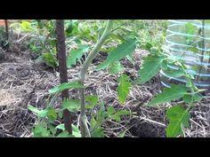 Como Podar Y Quitar Los Chupones Al Tomate || Huerto Organico || La Huertina De Toni