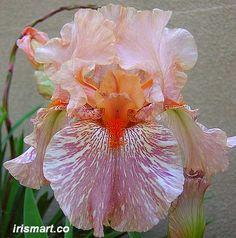 King Tush iris