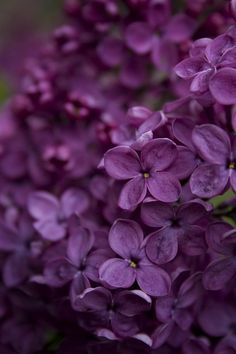 Deep purple coloured lilac flowers.