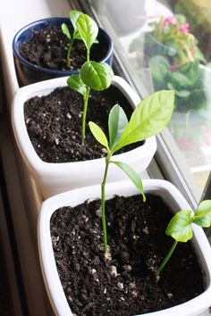 More about the process of growing pretty houseplants from lemon seeds!