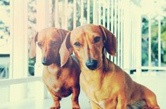 {double doxie delight!} #Dachshund #doxie darlin'