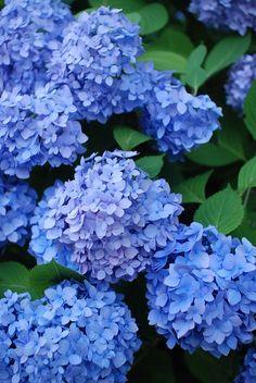 Pretty Blue Hydrangeas