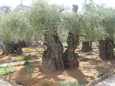 A 500 year old+ olive tree in the gardens next to the church at the spot where Jesus was found and brought back to Jerusalem to be put on trial