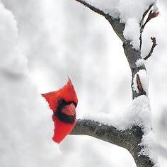 Snow + cardinal = beautiful.
