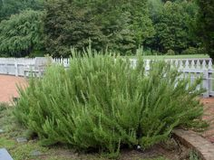 Place rosemary in a well traveled area to enjoy the scent often.