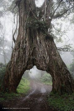 drive-through tree mystic, van, nation park, arusha nation, natur, trees, national parks, place, tanzania