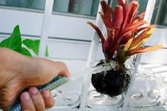 How to Care for a Bromeliad: 7 Steps - wikiHow