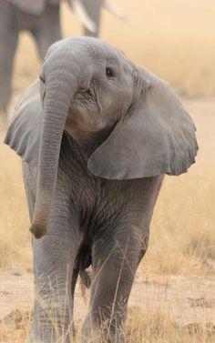 Adorable baby Elephant!