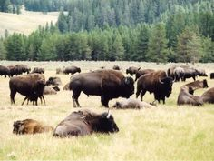 Amazing the buffalo is now off the endangered list.