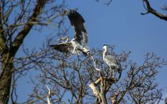 Jana also spotted this pair of Herons taking flight at Charlecote Park, Warwickshire. 17 April 2014