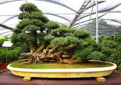Now that's a big, big bonsai.