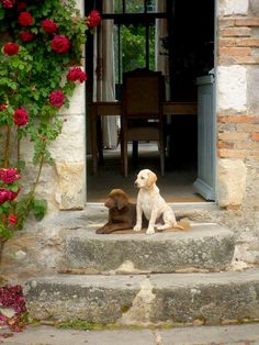 rose, anim, cottag, chocolates, dream homes, chocolate labs, countri dog, hous, puppi