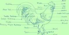 Body Parts of A Rooster (Cockerel)