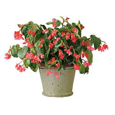 Dragon Wing Red Angel Wing Begonia | SouthernLiving.com angel wings, dragons, wing red, red angel, container plants, dragon wing, angels, garden, angel wing begonias