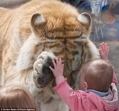 These breathtaking photographs capture the remarkable moments when a tiger bowed its head and placed a paw up to the hand of a small girl.    Photographer Dyrk Daniels noticed the 370lb Golden Bengal Tiger had taken an interest in the child, who was leaning against his glass enclosure.    As the tiger, called Taj, headed over to her, Mr Daniels got his camera ready, expecting him to snarl and bang against the glass…  http://www.dailymail.co.uk/news/article-2055257/Easy-tiger-Remarkable-moment...