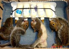 awworthi squirrel, sweet animals, funny animals, babi squirrel, squirrels, animal funnies, funny animal pictures, bottles, lunch