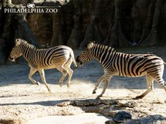 Family groups of common zebras bond together to form large herds that may number in the tens of thousands. Photo by Lisa Gemmill.