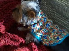 Daisy, modeling her new sweater....