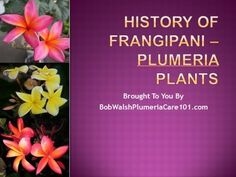 YouTube video of the fascinating history of Frangipani, Plumeria plants.