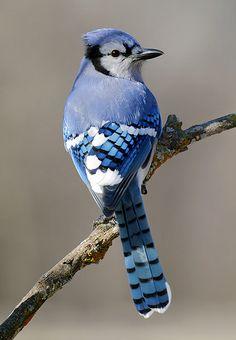 Blue Jay Beauty.