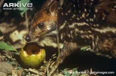 Water Chevrotain (Hyemoschus aquaticus) also known as mouse deer, are the intermediates in appearance between pigs and deer. They occur in western and central African rain forest river valleys along the edges of swamps and streams.