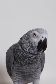 Silvester, African Grey