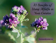 10 Benefits of Using Alfalfa in Your Garden
