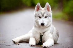 Siberian Husky Puppy/looks just like Storm <3