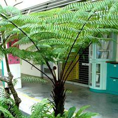 pretti plant, garden plant, garden project, tropic garden, trees, fern tree, tree fern, tropical gardens, ferns