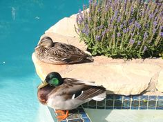 Momma and Daddy Duck mate for life.