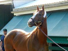 California Chrome looks ahead to the Belmont Stakes