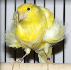 Picture of a Northern Dutch Frilled Canary