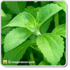Stevia - growing Stevia - how to grow and harvest Stevia