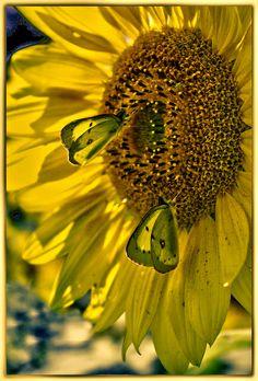 sunflower and butterflies--
