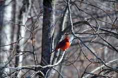 Redbird In Winter!