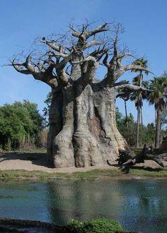 Bulbous Baobab Tree |