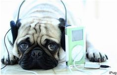 music, song, anim, dogs, pug pug