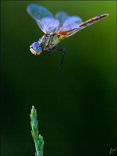 Dragonfly By: Antonio Díaz