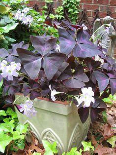 Shamrock plant in my garden