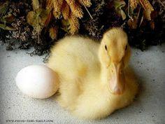 Fresh Eggs Daily®: Basic Duckling Care - Raising Healthy Happy Ducks