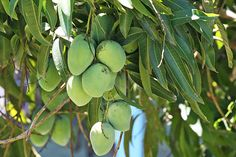 green mangoes [the philippines]