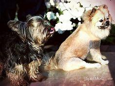Yorkie ♥ Pom-a-Pug dog georgi