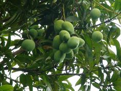 yard, mango tree