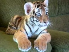 Shut it down. This sofa-bounding tiger cub is the best thing you'll see today. Okay, Science, I know cancer cures and immortality are super important, but can one of your Alpha Nerds get to work on making miniature, docile tigers a reality? Thanks. tiger cub, tiger babi, anim, tigers, babi tiger