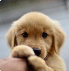 THIS anim, little puppies, golden retrievers, puppy face, pet, ador, dog, friend, thing