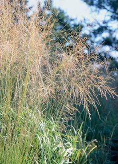Switchgrass, great for Midwest gardens. Details + more ornamental grass ideas: http://www.midwestliving.com/garden/ideas/best-ornamental-grasses-for-midwest-gardens/?page=6,0 garden ideas, midwest garden, garden fun