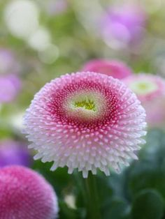 English daisies (Bellis perennis) ~  hardy herbaceous perennials