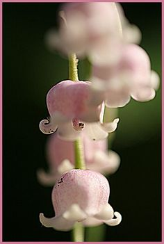 ♕ pink lily of the valley