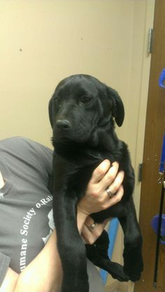NO LONGER LISTED - #WVIRGINIA #GassingShelter ~ Jasper ID 2567 is a Black Labrador Retriever #puppy who's UTD vaccines [[ 1 of 73 pets  listed on petfinder today 1-22-14 ]] & is in need of a loving #adopter / #rescue at HUMANE SOCIETY of RALEIGH COUNTY 325 Gray Flats Rd #Beckley WV 25802 rcpets@hotmail.com P 304-253-8921
