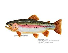 Fish Print SET Trout Brown Brook Bass Set of 3 Art Fish Trout  8x10 animals nursery watercolor on Etsy, $45.00